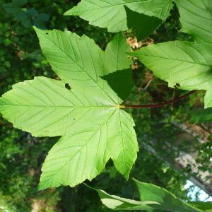 Photographie n°756742 du taxon Acer pseudoplatanus L.