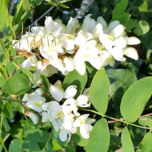 Photographie n°757286 du taxon Robinia pseudoacacia L.