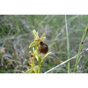 Ophrys x hybrida Pokorny ex Rchb.f. (Ophrys hybride)