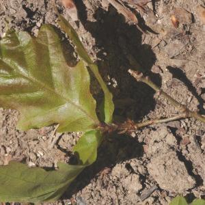 Photographie n°757630 du taxon Quercus pubescens Willd. [1805]