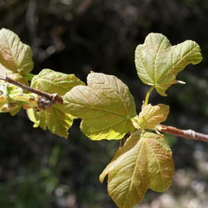 Photographie n°757854 du taxon Acer opalus Mill.
