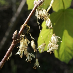 Photographie n°757855 du taxon Acer opalus Mill.