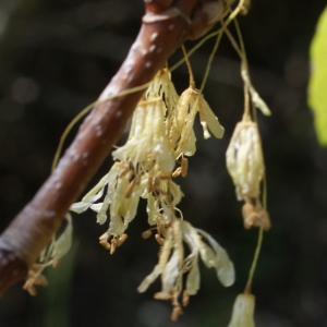 Photographie n°757857 du taxon Acer opalus Mill.