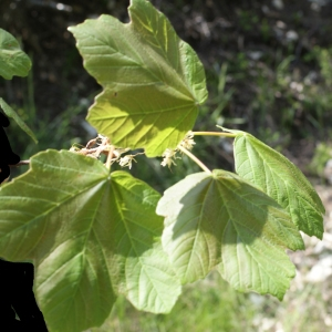 Photographie n°757859 du taxon Acer opalus Mill.