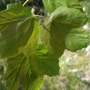 Photographie n°757864 du taxon Acer opalus Mill.