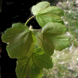 Photographie n°757865 du taxon Acer opalus Mill.