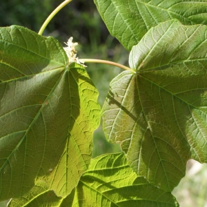 Photographie n°757866 du taxon Acer opalus Mill.