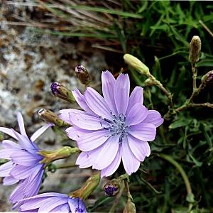 Photographie n°758010 du taxon Lactuca perennis L.