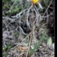 Franc-Christophe Baurens - Tulipa sylvestris subsp. australis (Link) Pamp.