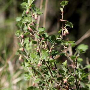 Photographie n°758850 du taxon Ribes uva-crispa L. [1753]