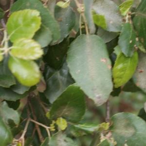 Photographie n°759344 du taxon Quercus suber L. [1753]