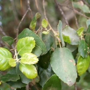 Photographie n°759345 du taxon Quercus suber L. [1753]