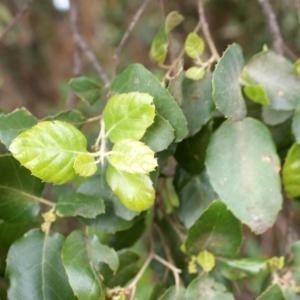 Photographie n°759347 du taxon Quercus suber L. [1753]