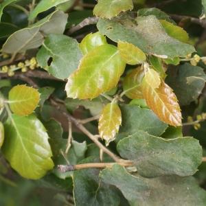 Photographie n°759348 du taxon Quercus suber L. [1753]