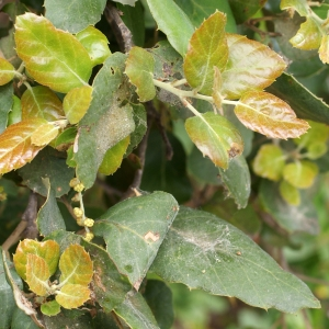 Photographie n°759349 du taxon Quercus suber L. [1753]