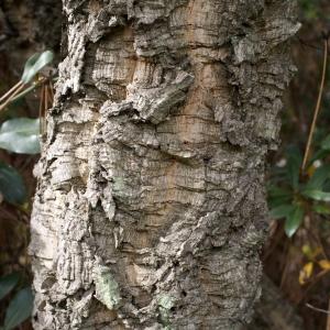 Photographie n°759353 du taxon Quercus suber L. [1753]