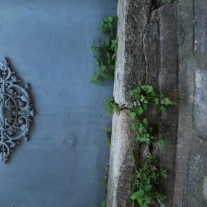 Photographie n°759483 du taxon Cymbalaire des murailles