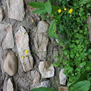 Photographie n°759536 du taxon Crépis de Nîmes