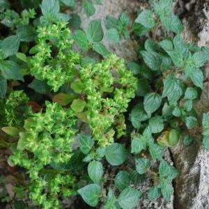 Photographie n°759538 du taxon Euphorbe des jardins