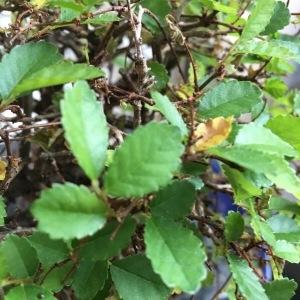 - Ulmaceae