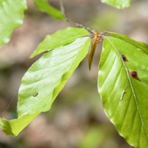 Photographie n°759679 du taxon Fagus sylvatica L.