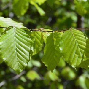 Photographie n°759680 du taxon Fagus sylvatica L.