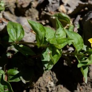 Photographie n°759694 du taxon Lysimachia nemorum L.