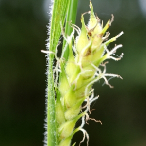Photographie n°759768 du taxon Carex hirta L. [1753]