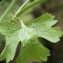 Liliane Roubaudi - Ranunculus muricatus L. [1753]