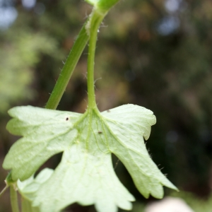 Photographie n°759794 du taxon Ranunculus muricatus L. [1753]