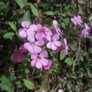 Photographie n°759873 du taxon Saponaria ocymoides L.