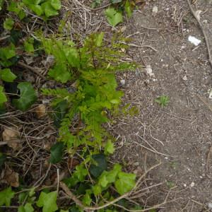 Photographie n°759905 du taxon Robinia pseudoacacia L.