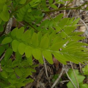 Photographie n°759906 du taxon Robinia pseudoacacia L.