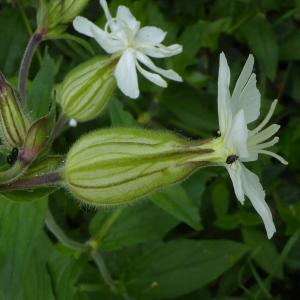 Photographie n°759915 du taxon Silene latifolia subsp. alba (Mill.) Greuter & Burdet [1982]