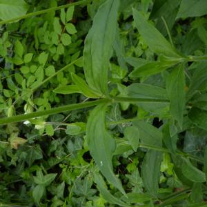 Photographie n°759917 du taxon Silene latifolia subsp. alba (Mill.) Greuter & Burdet [1982]