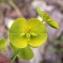 Liliane Roubaudi - Euphorbia biumbellata Poir. [1789]
