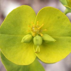 Photographie n°760008 du taxon Euphorbia biumbellata Poir.