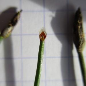 - Eleocharis palustris subsp. uniglumis (Link) Hartm.