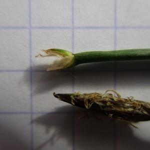 Photographie n°760072 du taxon Eleocharis palustris (L.) Roem. & Schult.