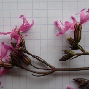 Photographie n°760084 du taxon Lychnis flos-cuculi L. [1753]