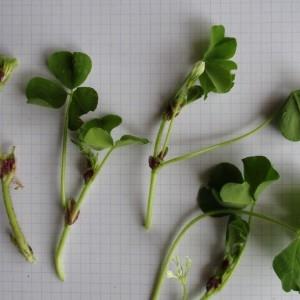 Photographie n°760094 du taxon Trifolium subterraneum L. [1753]
