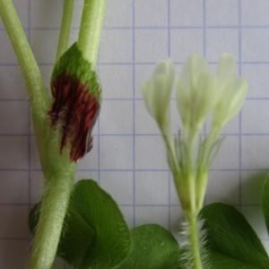 Photographie n°760095 du taxon Trifolium subterraneum L. [1753]