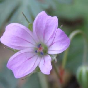 Photographie n°760191 du taxon Geranium columbinum L.