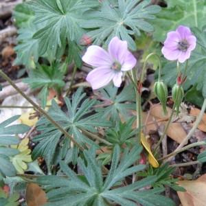 Photographie n°760192 du taxon Geranium columbinum L.