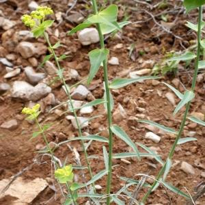 Photographie n°760322 du taxon Euphorbia serrata L. [1753]