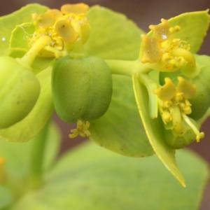 Photographie n°760330 du taxon Euphorbia serrata L. [1753]