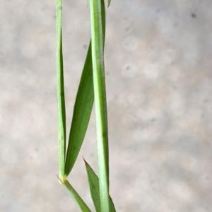 Photographie n°760338 du taxon Lathyrus setifolius L. [1753]