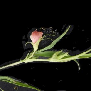 Photographie n°760340 du taxon Lathyrus setifolius L. [1753]
