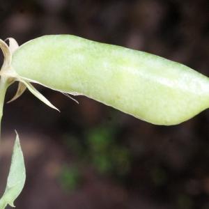 - Lathyrus setifolius L. [1753]