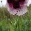 Liliane Roubaudi - Papaver somniferum subsp. somniferum